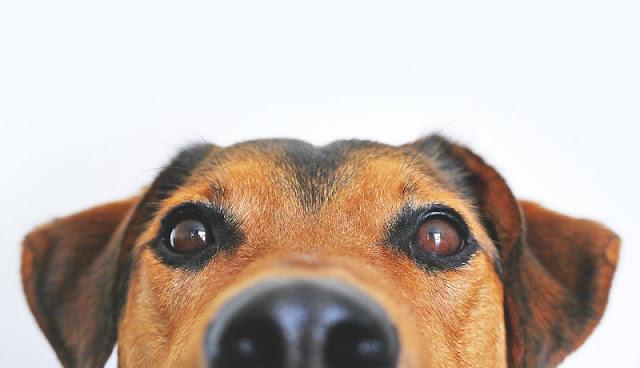 foto anjing dari depan dengan background putih