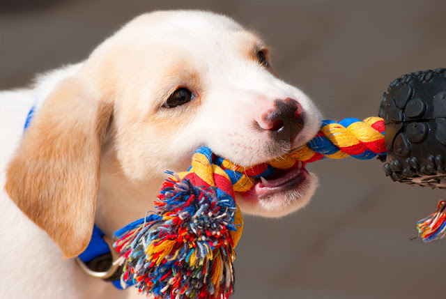 How to entertain your dog with tug, tricks, and food toys