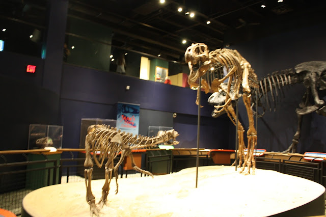 Jane the fossil of a juvenile Tyrannosaurus Rex discovered in Montana and on display at the Burpee Museum of Natural History in Rockford, IL