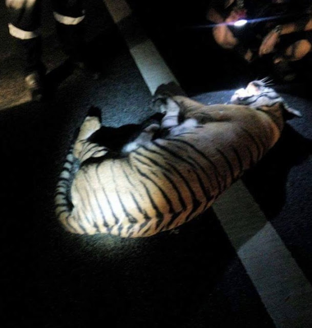 Harimau yang maut di LPT2 rupanya mengandung