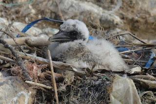 gannet chick, plastic in seabird, plastic lined nest