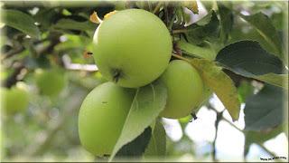 gambar buah apel manalagi