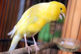 3 Gaya Tarung Burung Kenari Berdasarkan Bentuk Tubuh Dan Kondisi Sayap - Solusi Penangkarang Burung Kenari