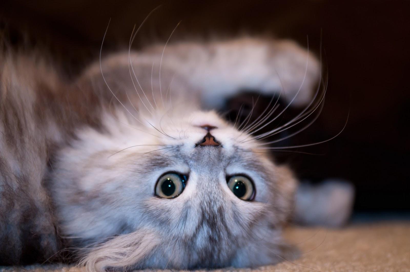 Gambar Kucing Versi Ml godean.web.id