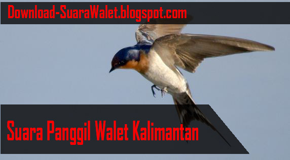 Download Suara Panggil Walet Kalimantan