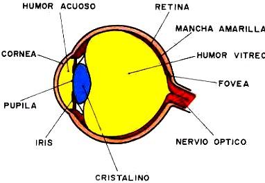 Ilustración del ojo indicando sus partes a colores