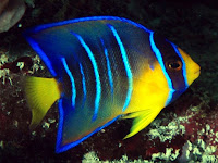 Angelfish Animal Pictures