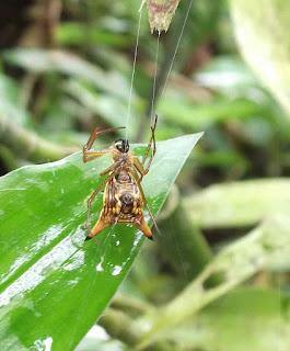 Aranha da Mata Atlântica