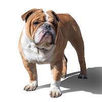 Yetişkin bir buldog köpeği