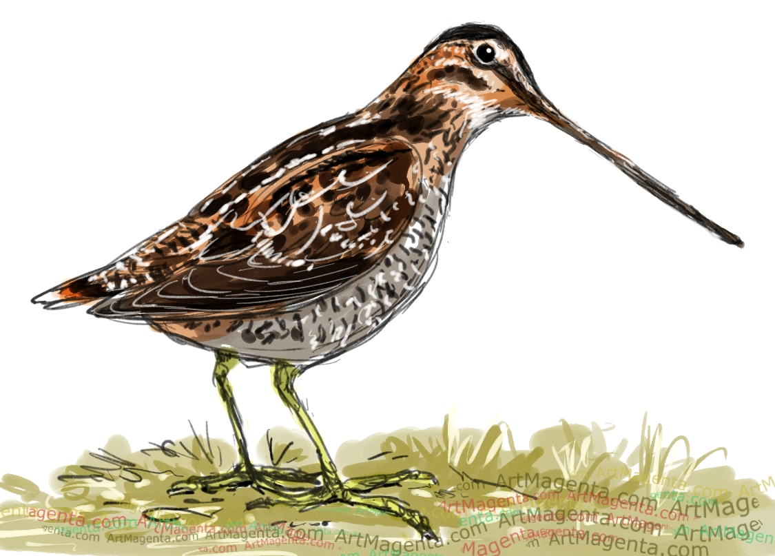 Common Snipe sketch painting. Bird art drawing by illustrator Artmagenta