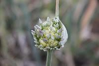 Perennial Babington's leek