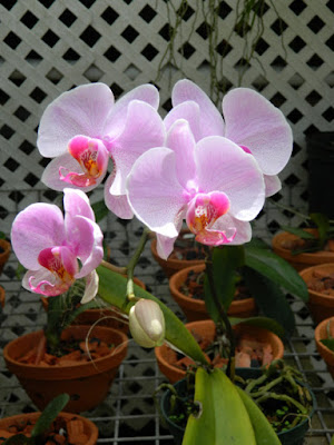 Moth orchid Phalaenopsis at Orchid World Barbados by garden muses-not another Toronto gardening blog