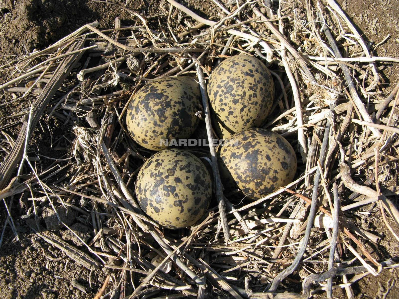 Nardileon a qu se debe el color de los huevos for Con que se limpia el marmol blanco