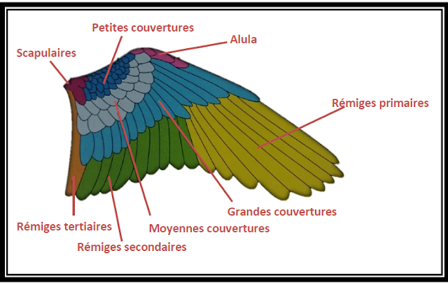 The plumages of parrots