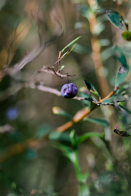 Heidelbeeren im Wald, Pomponetti