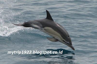 Lumba-lumba-Cardigan Bay Marine Wildlife Centre (Inggris)