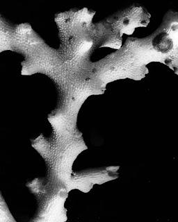 kerangaka kapur batu karang acropora cardenae