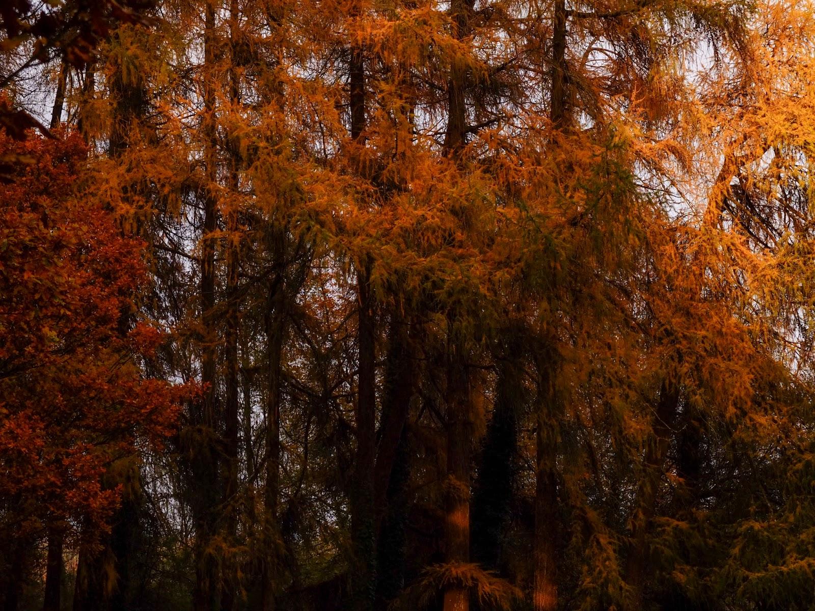 Autumn sunset light shining on conifer trees outside Kanturk Castle in North Cork.