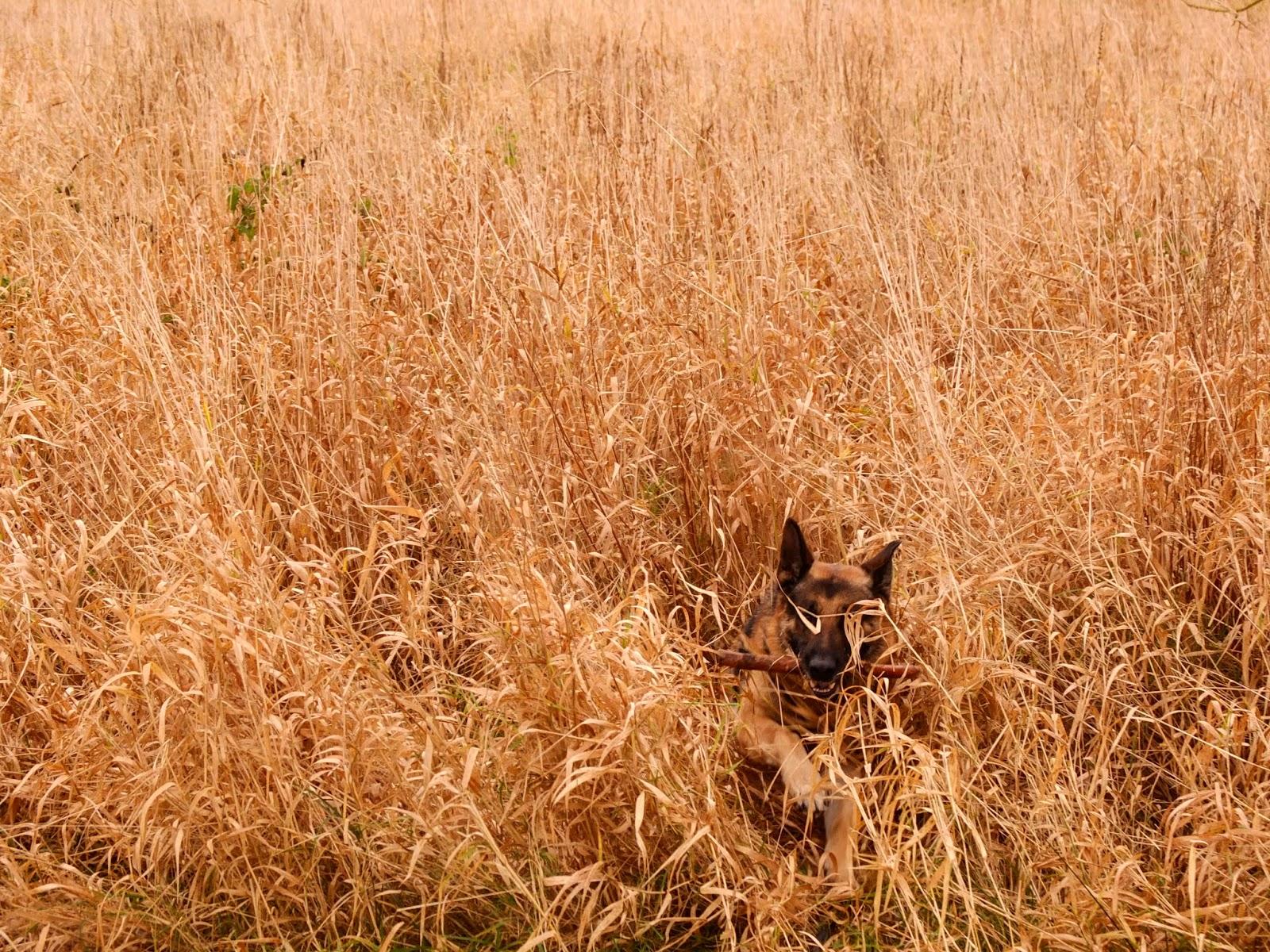 A German Shepherd Steve bringing back a stick through long grass.