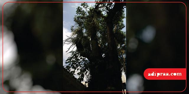 Pohon Tanjung yang menjulang tinggi | adipraa.com