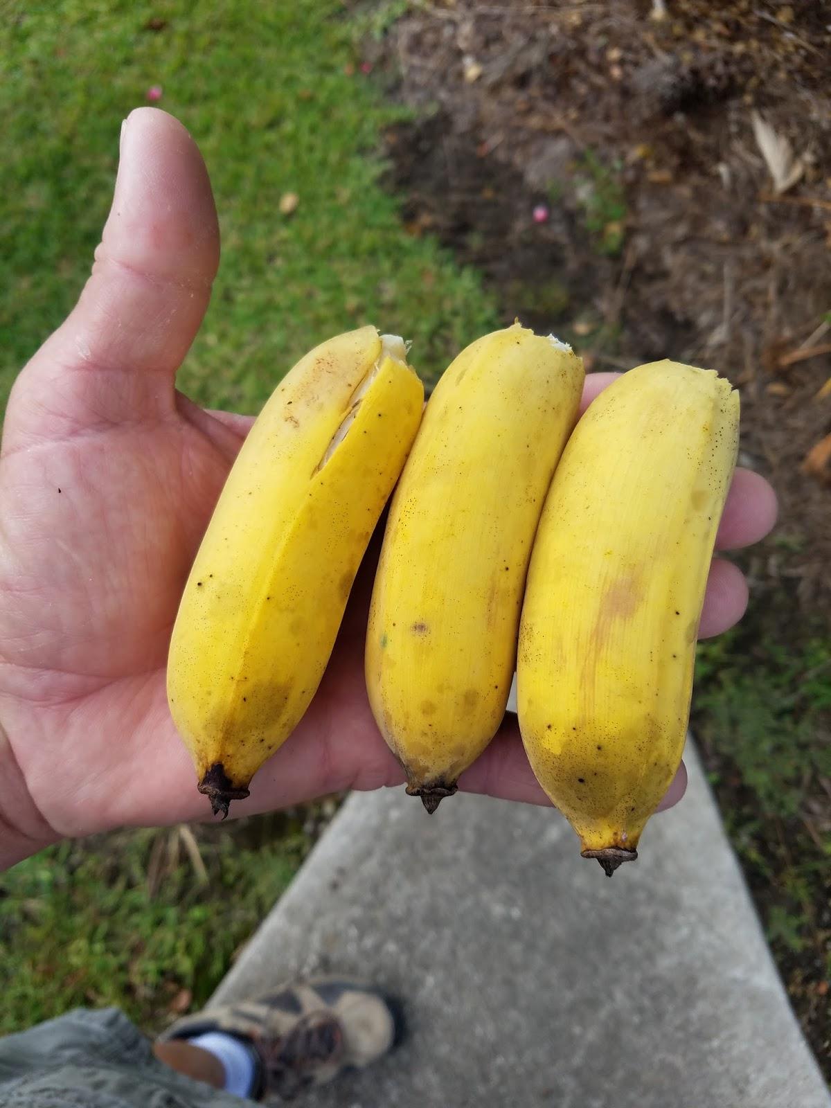 Java Banana