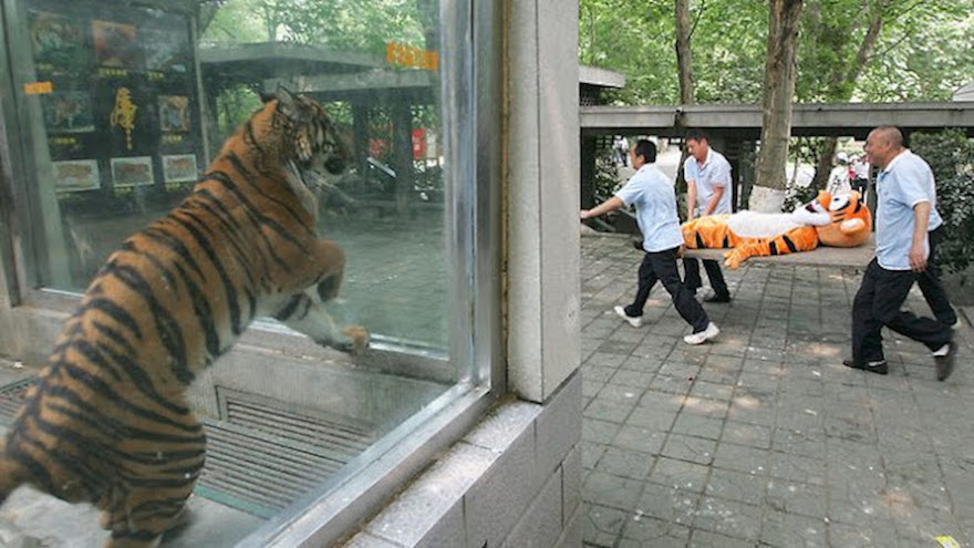 Tiger escape drill in China's Chengdu Zoo on June 2, 2011. The Zoo Houdinis and other stories. marchmatron.com