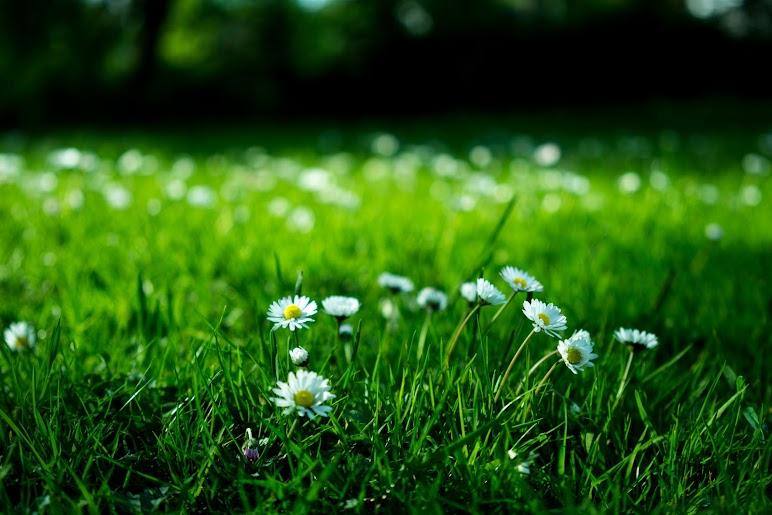 White Flowers On Green Field