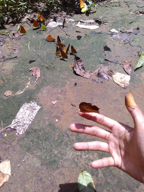 kupu-kupu bantimurung