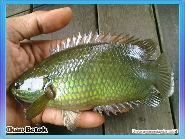gambar ikan betok