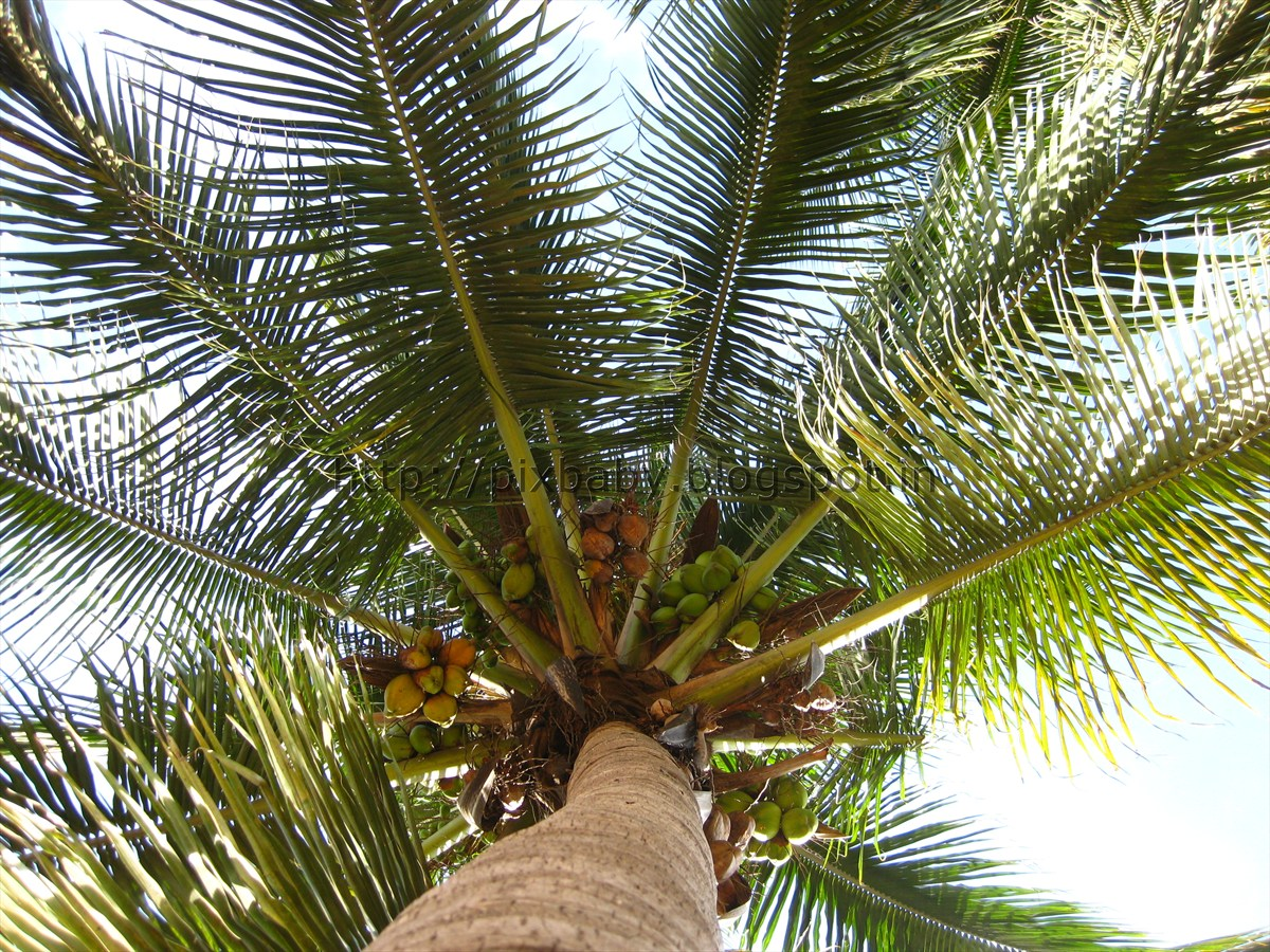 Coconut leaves, tree, coconut tree, cocoNut tRees