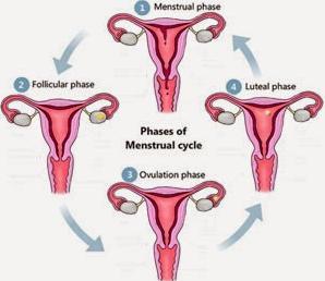 Gambar dan 4 Fase Siklus Menstruasi