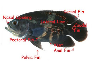 Fish Fins, lateral, dorsal, caudal, pectoral, anal
