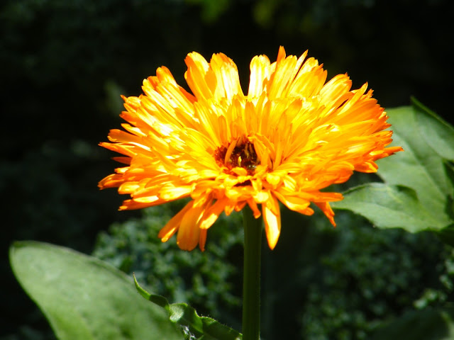 Double Orange Calendula Bloom