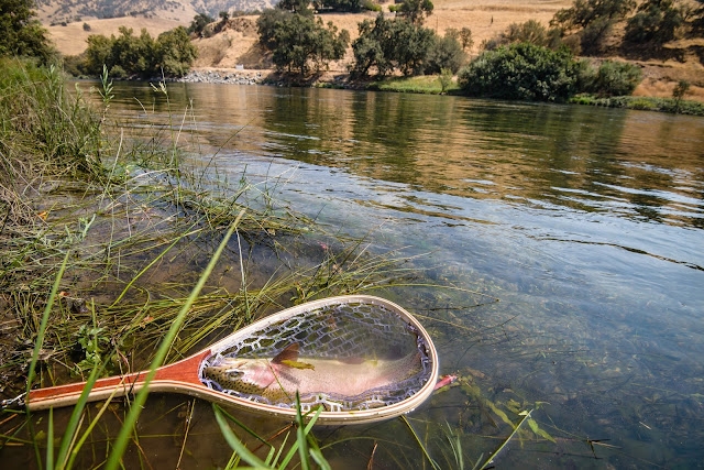 Netted Rainbow Trout