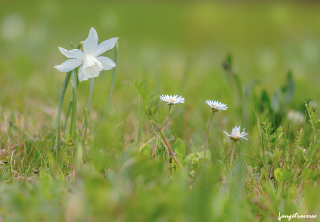 flore, flore des alpes, nature, natural, macro, bellis, paquerette, narcisse