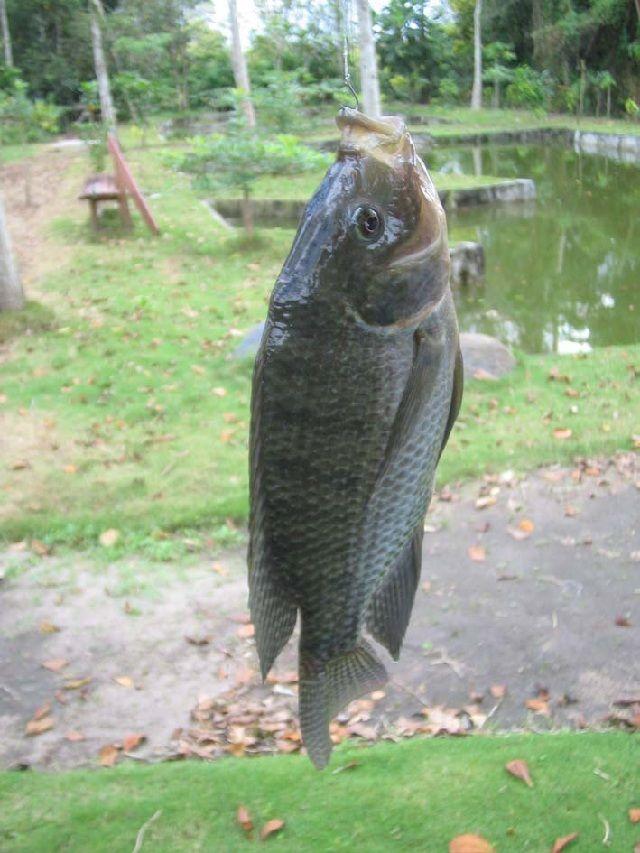 Gambar umpan ikan nila kolam dengan Pelet dan Lumut