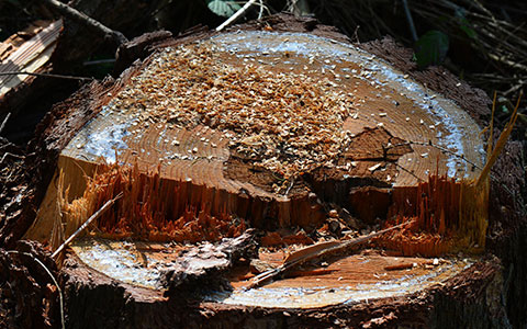 Kill and stop cut tree stumps from growing back