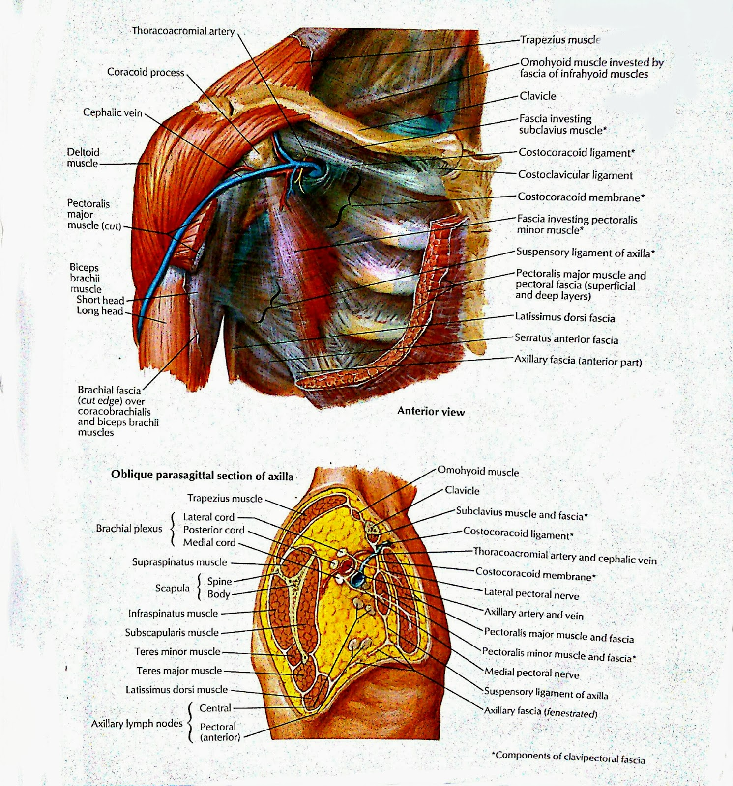 Pectoral And Brachialis Muscles