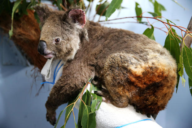 Wildfires In Australia Have Killed Almost Half A Billion Animals With 8,000 Koalas Among Them, Experts Estimate
