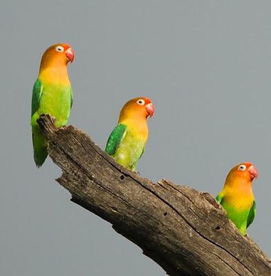 terapi mandi hujan lovebird