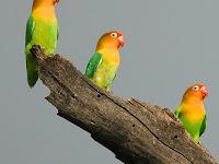 Manfaat dan Cara Terapi Mandi Hujan Lovebird: Membuat Lovebird Nancep Di Tangkringan