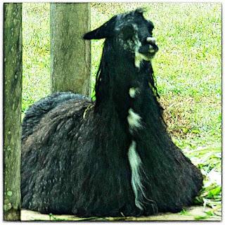 Alpaca do Parque Zoológico de Sapucaia