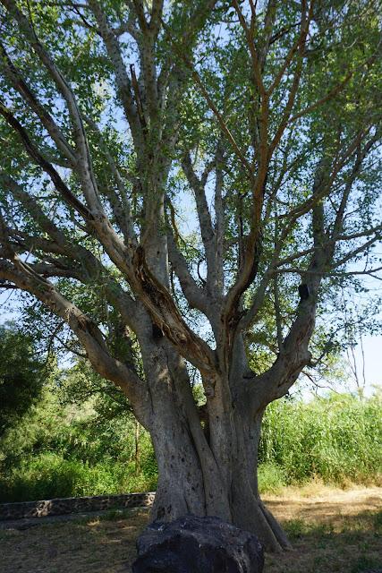 העץ העתיק בפארק הירדן