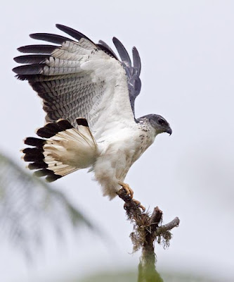 Grey backed Hawk