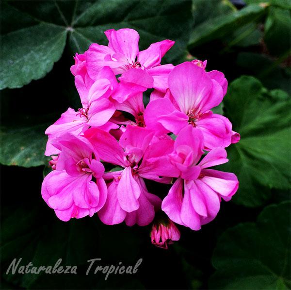 las hermosas flores de los geranios gnero pelargonium