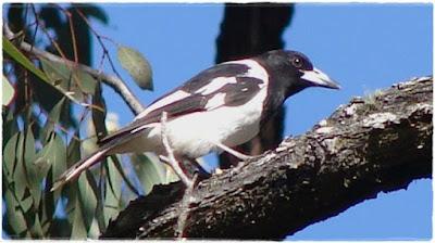 Free Download Mp3 Burung Jagal Papua Pengicau Unik dari Timur Indonesia
