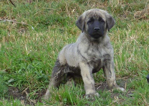 Anatolian Shepherd Brindle