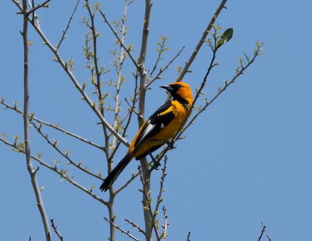 Spot-breasted Oriole - Markham Park, Florida