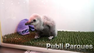 Cria pingüino barbijo loro parque