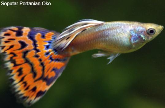 61 Ikan Hias Kecil Yang Menakjubkan Bermacam Tanaman Hias